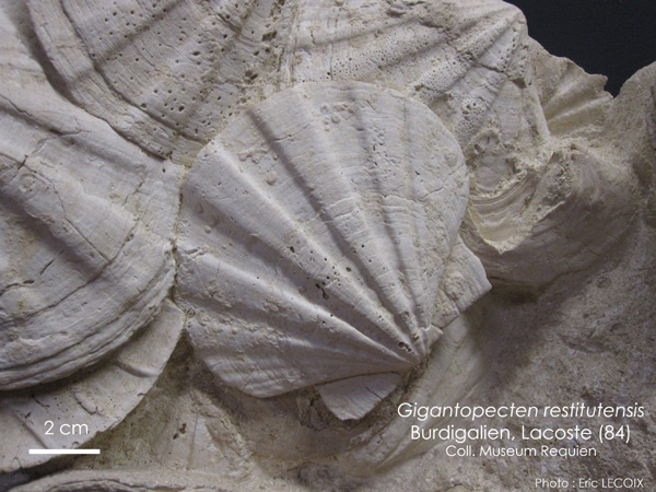 datant index fossiles
